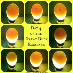 How to Prepare Eggs for Incubation