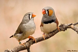 How To Incubate Zebra Finch Eggs