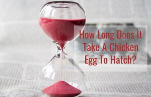 How Long Does It Take A Chicken Egg To Hatch?